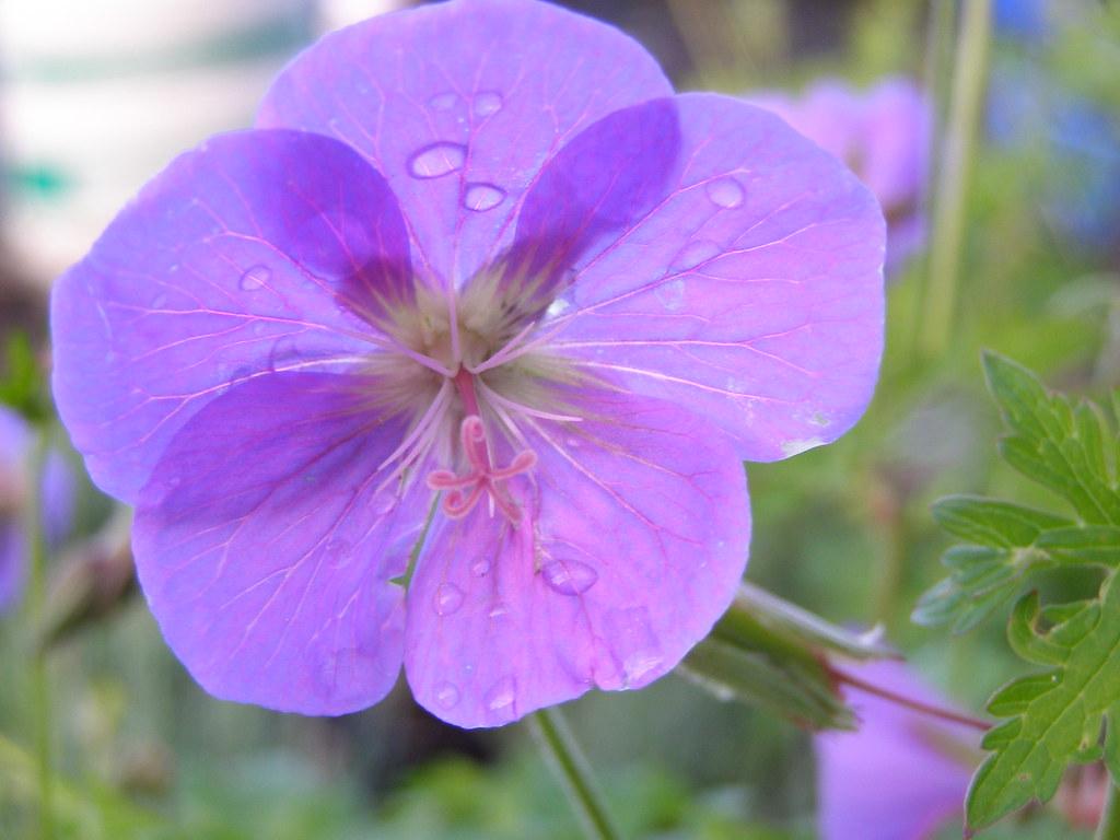 Perennial geranium   (t184)