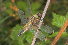 """Four-Spotted Chaser (libellula quadri(1) • <a style=""""font-size:0.8em;"""" href=""""http://www.flickr.com/photos/57024565@N00/193331417/"""" target=""""_blank"""">View on Flickr</a>"""