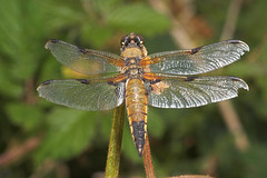 "Four-Spotted Chaser (libellula quadrimaculata) • <a style=""font-size:0.8em;"" href=""http://www.flickr.com/photos/57024565@N00/193331796/"" target=""_blank"">View on Flickr</a>"