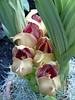 Tulip Orchids