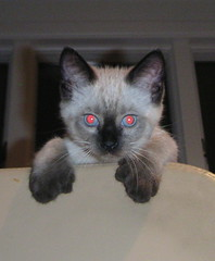6666-Toed Kitten