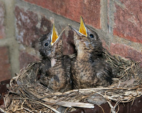 Blackbird chicks