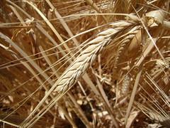 Espiga (Jofre Ferrer) Tags: wheat catalonia verano catalunya ete trigo solsona sumer estiu lleida espiga blat sumertime