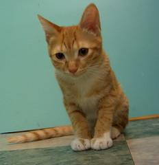 中途貓-謬謬 約接近四個月 (jacky elin) Tags: cats cat mix kitten