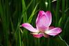 Blossoming Soon (` Toshio ') Tags: pink flower color washingtondc dc washington bright lotus blossom bloom aquatic kiss2 toshio aquaticgarden lotusblossom kiss3 kiss1 kiss4 kiss5