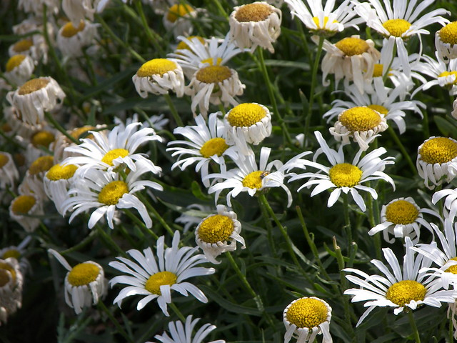 Nice Color Daisies