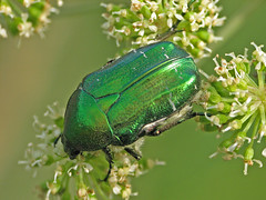 Green beetle (Marko_K) Tags: green tag3 taggedout tag2 tag1 beetle beetles specanimal animalkingdomelite 1on1naturephotooftheday