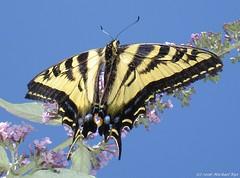 Western Tiger Swallowtail (Michael Rys) Tags: flowers 15fav 510fav wow nice butterflies loveit mygarden 110fav westerntigerswallowtail 111v1f 10views