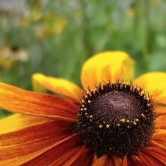 black-eyed susan (jude) Tags: flowers summer orange flower macro nature yellow closeup square bokeh 2006 explore jude judith daisy squared blackeyedsusan rudbeckiahirta meskill judithmeskill twtme bokehsonicejuly bokehsonicejuly31 30faves30comments300views musicaltitle judeonflickr
