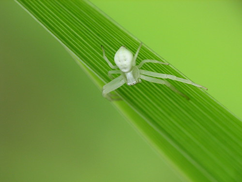 (: White Crab Spider :)
