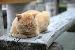 [フリー画像] [動物写真] [哺乳類] [ネコ科] [猫/ネコ] [チャトラ] [寝顔/寝相/寝姿]     [フリー素材]