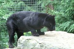 Black Panther (tim ellis) Tags: animal cat carnivore leopard santago panther black msh0418 msh04184