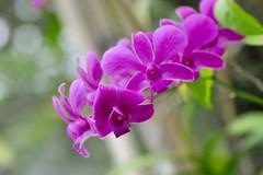 Dendrobium Violet (kktp_) Tags: orchid flower nature d50 nikon bokeh explore lovephotography tamronspaf90mmf28dimacro11 bokehsoniceaugust dendrobiumviolet bokehsoniceaugust11 explore11aug06