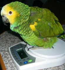 Rambo ist zu schwer 1.JPG (roadshopper) Tags: parrot papagai blaustirnamazone