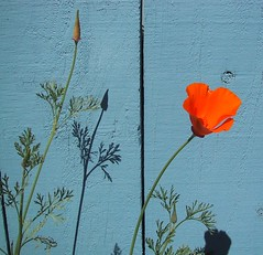 Poppy ~ Blue Fence ~ Afternoon Shadows (ShawnXian (Busy Healing!)) Tags: california blue light shadow orange flower texture composition fence poetry poem lace vibrant simplicity poppy understated delicate simple contrasts californiapoppy filigree bluegray utatafeature mywinners ripmom slz
