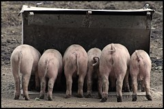 No place left at the bar ? (Lionoche) Tags: pig pigs cochon ferme schwein schweine bauernhaus cochons interestingness42 i500 ostrellina