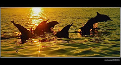 Dolphins, Lovina, Bali (mokastet) Tags: ocean blue sea wild bali film nature water smile animal animals yellow swim sunrise paper indonesia jump surf pentax dolphin wildlife wave surfing clear dolphins 1998 delfino pentaxmz50 delfini analouge mywinners theunforgettablepictures earthasia