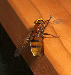 """Hoverfly (volucella zonaria)(1) • <a style=""""font-size:0.8em;"""" href=""""http://www.flickr.com/photos/57024565@N00/220822402/"""" target=""""_blank"""">View on Flickr</a>"""