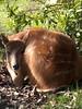 Dear-thing (sitharus) Tags: newzealand zoo raw wellington e300