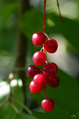 (Peter Brake) Tags: tree bokeh grandfallswindsor chokecherries bokehsoniceaugust bokehsoniceaugust23