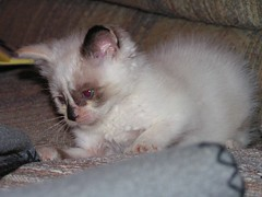 My kitten jinx (The life and times of, The J) Tags: jinx