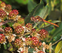 """Common Darter (Sympetrum striolatum)(17) • <a style=""""font-size:0.8em;"""" href=""""http://www.flickr.com/photos/57024565@N00/225248623/"""" target=""""_blank"""">View on Flickr</a>"""