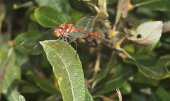 """Ruddy Darter (Sympetrum sanguineum) Dragonfly • <a style=""""font-size:0.8em;"""" href=""""http://www.flickr.com/photos/57024565@N00/225248919/"""" target=""""_blank"""">View on Flickr</a>"""