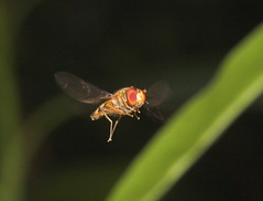 """Hovering Hoverfly(1) • <a style=""""font-size:0.8em;"""" href=""""http://www.flickr.com/photos/57024565@N00/228185630/"""" target=""""_blank"""">View on Flickr</a>"""