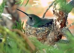 Nesting Humming Bird (wplynn) Tags: arizona birds animals humming nesting wildbirdsunlimited wbu secretlifeofbirds
