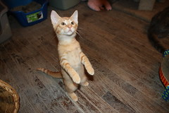179/365/3101 (December 7, 2016) - Cats and Kittens at Crafty Cat Rescue (Ann Arbor, Michigan) - Wednesday December 7, 2016 (cseeman) Tags: cats pets craftycatrescue annarbor michigan shelter adoption catshelter catrescue caring animals craftycatphotos12072016 kittens 2016project365coreys yearnineproject365coreys project365 p365cs122016 356project2016