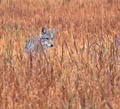 Coyote (Canis latrans) (zgrial) Tags: cayote canine wildlife grassland mormonrow grandteton nationalpark wyoming hunting canislatrans zgrial