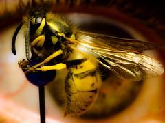 I see your pain (von8itchfisk) Tags: black macro eye yellow insect pain tears jasper wasp sting eyeball stinginthetail bluelollipop battisford vonbitchfisk yesigluedthefuckertothepinhead wellitwasdeadanyways tooclosethefool