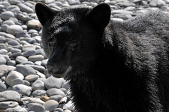 RENDEZVOUS  -  (Selected by GETTY IMAGES) (DESPITE STRAIGHT LINES) Tags: bear sea wild canada wet water island cub islands coast nikon flickr waves bc britishcolumbia tide wave pebbles vancouverisland coastal getty coastline tidal blackbear gettyimages bearcub d300 sombriobeach paulwilliams nikkor18135mm juandefucaprovincialpark blackbearcub nikon18135mm nikond300 despitestraightlines sombriobeachbc sombriobeachcanada encounterwithablackbear wildblackbearcub