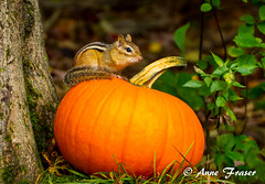 Happy October!  : ) (Anne Marie Fraser) Tags: autumn fall halloween pumpkin october chipmunk