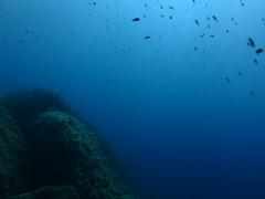 Damselfish, Xatt LAhmar, Gozo (yayapapaya77) Tags: fish wall rocks underwater diving malta fisch mediterraneansea gozo felsen tauchen unterwasser damselfish mittelmeer steilwand mnchsfisch canonpowershotg15 xattlahmar