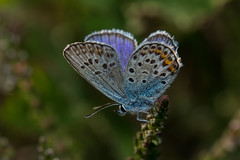 Male Silver-studded Blue (steb1) Tags: macro butterfly insect lepidoptera 2015 lycaenidae plebejusargus silverstuddedblue canon100mmf28lismacro preesheathcommon
