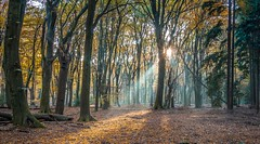 The forest of the dancing trees (Peter Jaspers (busy at the moment)) Tags: autumn light fall colors forest leaf herfst olympus sbb panasonic veluwe sunray sunbeams omd drie garderen ermelo 2015 em10 dancingtrees staatsbosbeheer speulderbos 20mm17 frompeterj