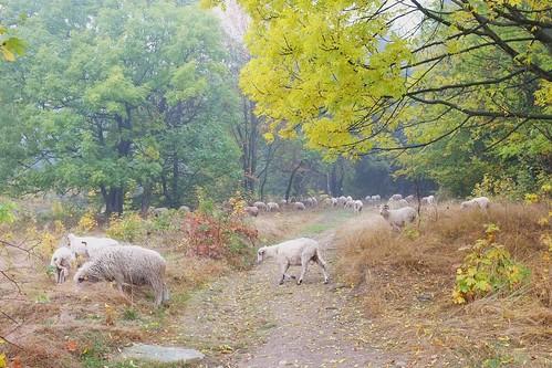 Jagnięcina na wypasie / Mutton grazing