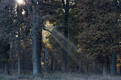 00012-Herbst im Wildpark_Web (berni.radke) Tags: thanksgiving november autumn fallleaves fall season herbst jahreszeit harvest autumncolors erntedankfest indiansummer herbstwald wildpark yellowgold herbststimmung redgold herbstfarben dlmen herbstzauber blattgold rotgold grngold weisgold gelbgold bltterfall