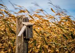 Parti  la chaleur (Jean-Pierre Dubeau) Tags: fall home automne fence vent post nest wind farming culture poteau agriculture maison oiseau nit clture fird
