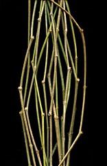 56960.01 Parthenocissus quinquefolia (horticultural art) Tags: stems virginiacreeper parthenocissus parthenocissusquinquefolia horticulturalart