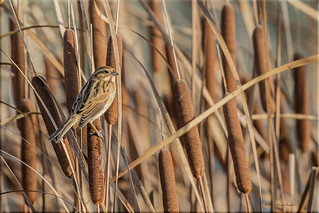 Reed Bunting in the reeds