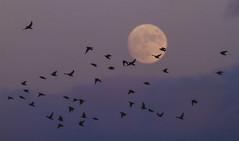 Moon Rise (Davor Desancic) Tags: california fremont moonrise coyotehills redwingedblackbird ebparksok