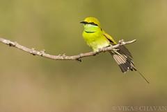 Green Bee-eater. (Vikas.B.Chavan) Tags: nikon ngc 300mm npc ii tc nikkor afs ifed 17e f4d d7100