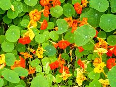 Capucine (CORMA) Tags: autumn brussels automne belgium belgique bruxelles tropaeolum capucine floraison jardinsdufleuriste
