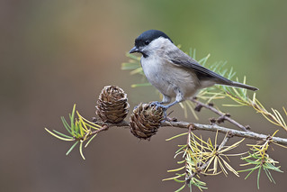 Marsh Tit (Poecile palustris)