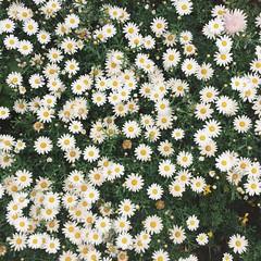 (linhchi_) Tags: flowers flower nature beautiful japan wonderful japanese tokyo wonderfulnature nhtbn p nht