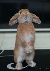 My little friend PIPPO! Part 2 (antonio.desiena) Tags: pet rabbit bunny art 50mm nikon sigma f2 d800 coniglio