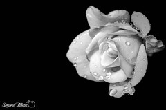 Black Roses (meepeachii) Tags: bw schwarzweis blackwhite blackandwhite lowkey flower flowers blume blumen düster dark macro makro rain regen rose black white italy holiday photoshop nikon
