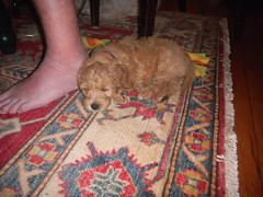 little-marley-in-her-new-home-in-boston--shes-one-of-kenzie-and-chewys-girls-_4788810934_o